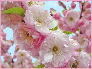 Покрывалом розовым
